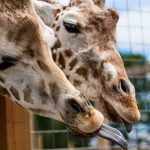 Fenomena April The Giraffe ~ Belajar Mempopulerkan Dari Hal Yang Sederhana