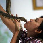 6 Prinsip Memulai Usaha Budidaya Ternak Ular Kobra, Wajib Diketahui