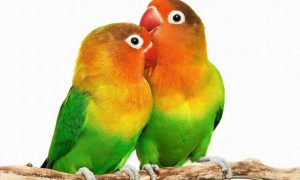Tips Sukses Usaha Budidaya Ternak Burung Lovebird Untuk Pemula