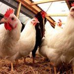 6 Kiat Agar Usaha Ternak Ayam Potong Berkembang Pesat