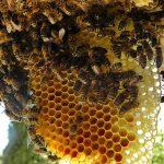 Tips Usaha Budidaya Ternak Lebah Madu, Sepele tapi Penting!