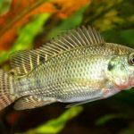 Usaha Budidaya Ikan Nila yang Menguntungkan dan Cepat Panen